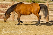 SS CRYSTAL SPARK bay mare (SPARK x CARAMELLE by ARISTON) photo taken at age 24 yrs