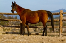 SS Sparks Amore 1988 Bay mare (Spark x Cyreta by *Carycyn). Shown here age 23.