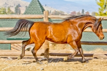 SS Anacel 2002 Bay mare (QR Excel x SS Anabelle by Spark). Shown here age 9.