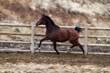 SS Royal At 2008 Bay mare (SS Atilgan x SS Rojalista by SS Thunderbolt). Shown her at age 3.