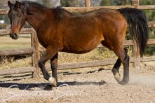 SS Royal Touch 1989 Bay mare (Spark x Rubie by MS Elusion out of *Rucella by CELEBES) Shown here age 22.