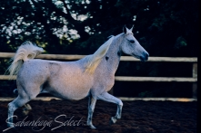 *Daalda Cama Classic Pure Polish 1972 grey mare (Celebes x Camora by Aquinor). Shown here age 12 yrs. She is of the GAZELLA II tail female line.