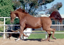 *Danina Classic Pure Polish 1967 chestnut mare (Chazar x Druchna by Rozmaryn). Shown here age 16 yrs. She is of the SEMRIE tail female line.