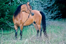 *Cyreta Classic Pure Polish 1980 bay mare (*Carycyn x *Atena by Celebes). Shown here at 9 yrs. She is of the SCHERIFE tail female line.