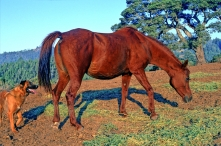 Palalaika Classic Pure Polish 1980 Chestnut Mare (*Sambor x Halaliencandesent by *Bask). Shown here age 11 yrs. She is of the SAHARA tail female line.