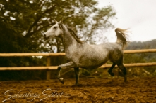 Arista Blanca Classic Pure Polish 1979 grey mare (Ariston x *Morwa by Wielki Szlem). Shown here 12 yrs. She is of the MLECHA tail female line.