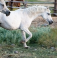 SS Royal Gem Classic Pure Polish 1990 grey mare (*Karadjordje x Rubie by MS Elusion). Show here at the age of 21 yrs. She is of the Gazella II tail female line.