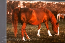 *Venetiaa Classic Pure Polish 1977 Chestnut mare (*Banat x *Widawa x by Gwarny). Shown here at age 14 yrs. She is of the SZWEYKOWSKA tail female line.
