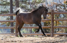 SS Sparks Laheeb Contemporary Pure Polish 2008 grey stallion (Laheeb x SS Crystal Spark by Spark). Shown here age 3 yrs. He is of the GAZELLA II tail female line.