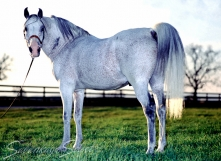 *Gedymin Classic Pure Polish 1968 grey stallion (*Gwarny x Gastronomia by Marabut). Shown here at age 22 yrs. He is of the GAZELLA II tail female line.