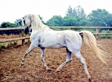 *Estragon Classic Pure Polish 1974 grey stallion (*Gedymin x Eskapada by *Naborr). Shown here at 16 yrs. He is of the MILORDKA tail female line.