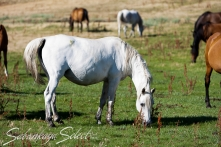 SS Tracey Classic Pure Polish 1992 grey mare (*Estragon x SS Spark's Tango by Spark). Shown here 19 yrs. She is of the SAHARA tail female line.
