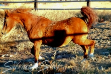 Rubie 1985 Chestnut Mare (MS Elusion x *Rucella by Celebes). She is of the GAZELLA II tail female line.