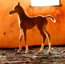 Ajman Moniscione x SS Laheeria (by Laheeb) chestnut filly