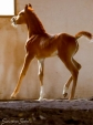 (Ajman Moniscione x SS Alexandrea by SS Alexander) 2012 Chestnut Filly