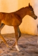 (Ajman Moniscione x SS Certainlaheeb by Laheeb) Chestnut Filly 2012